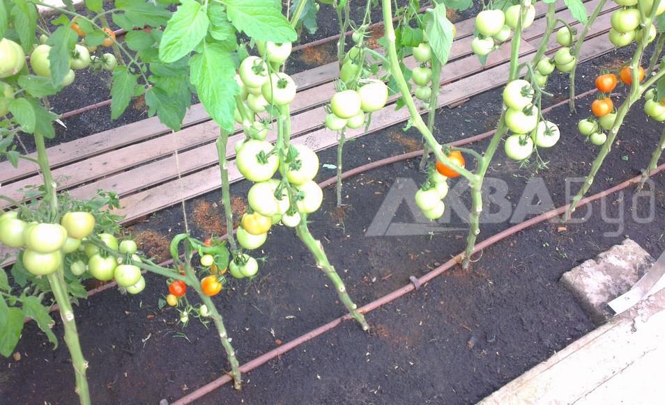 Капельная поливка помидор